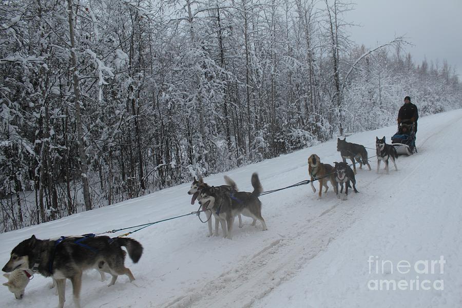 Husky Photograph - Mush by Tanja Hymel