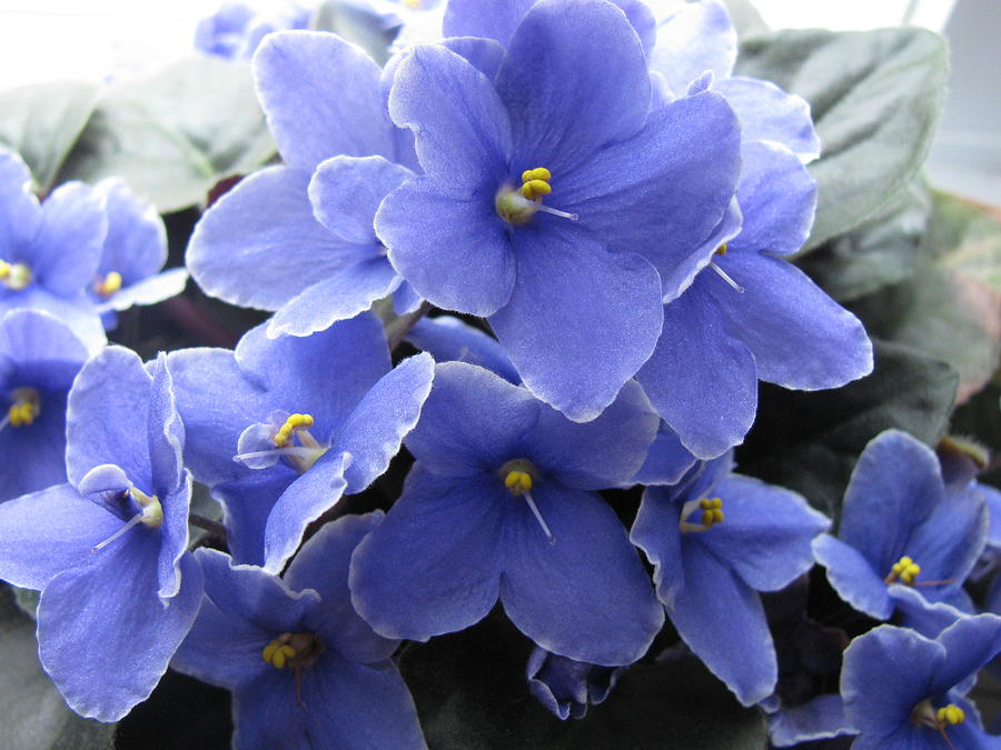My Blue African Violets Photograph by Ken Moran
