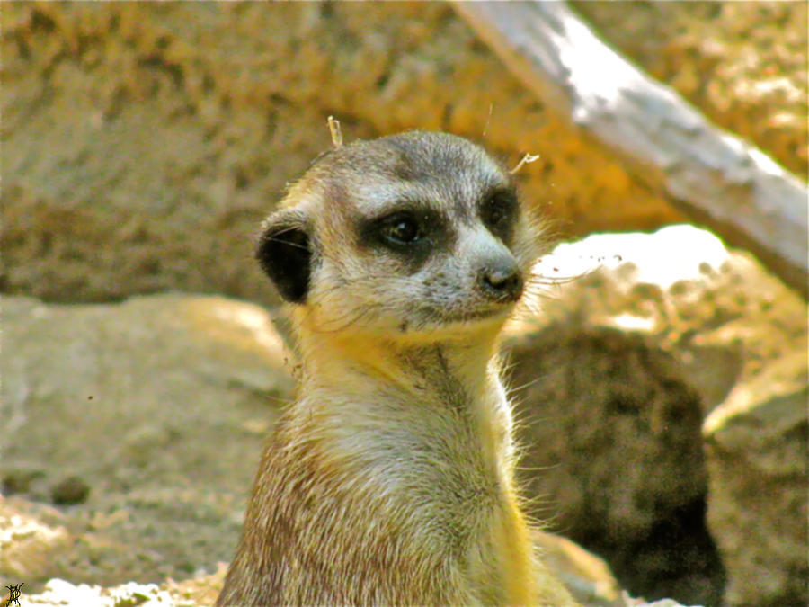 My Favorite Meerkat Photograph