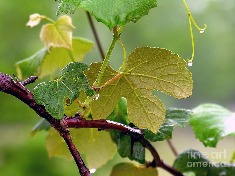 My Grapvine Photograph