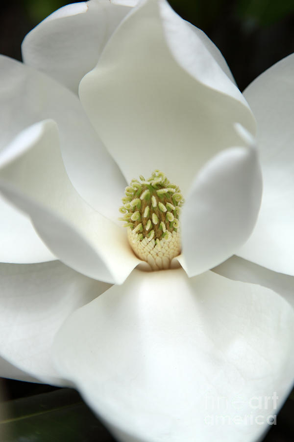 Magnolia Photograph - Mysteriously by Amanda Barcon