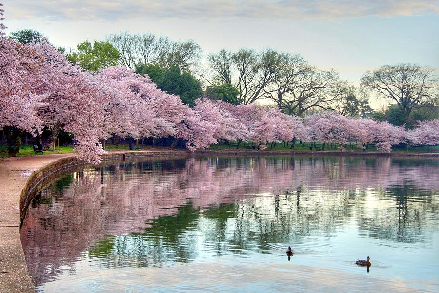 Cherry Blossoms Photograph - Nature Heals by Mitch Cat