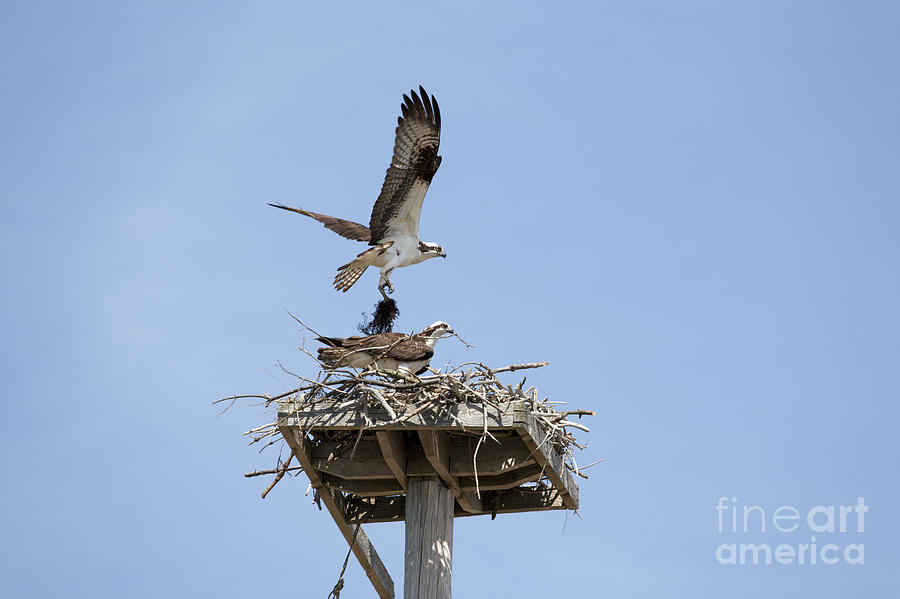Osprey Photograph - Nesting Osprey In New England by Erin Paul Donovan