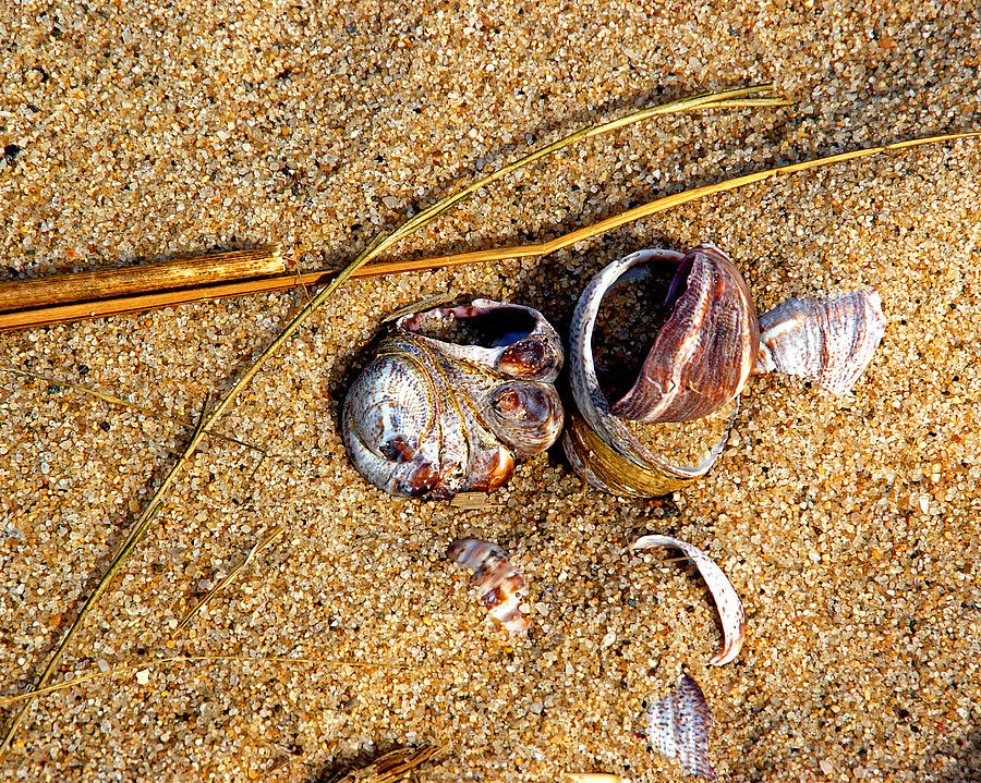 Shells Photograph - Nestled In The Sand by Lynda Lehmann