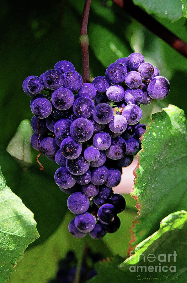 Grapes Art Painting - New Wine by Constance Woods