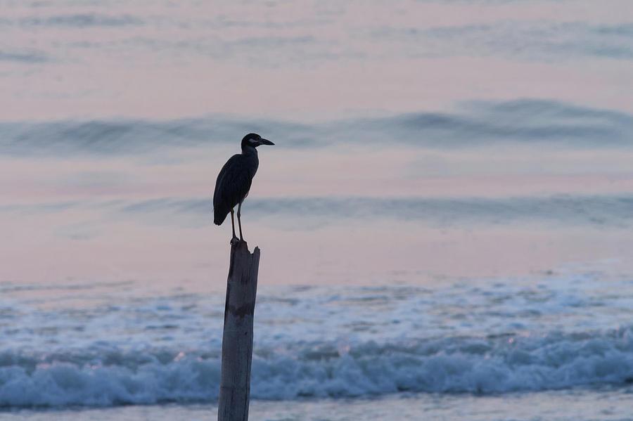 Night Heron Dawn Post Photograph