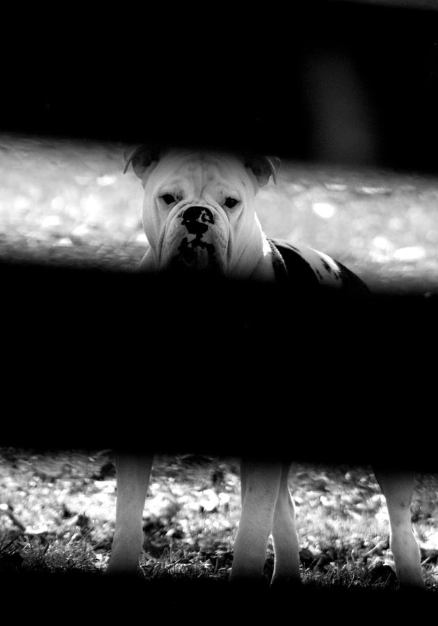 Bulldog Photograph - No Bull by Emily Stauring