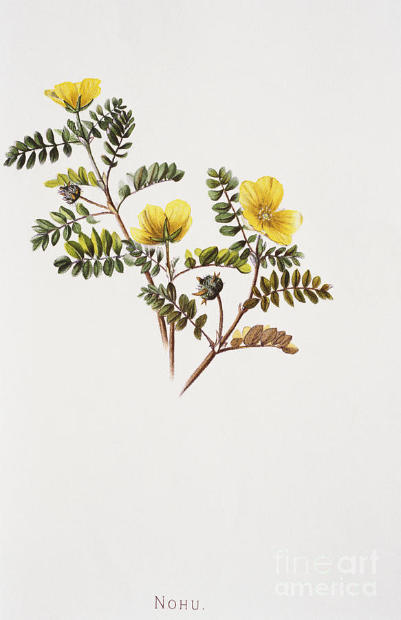 1885 Painting - Nohu Flower - Vintage by Hawaiian Legacy Archive - Printscapes