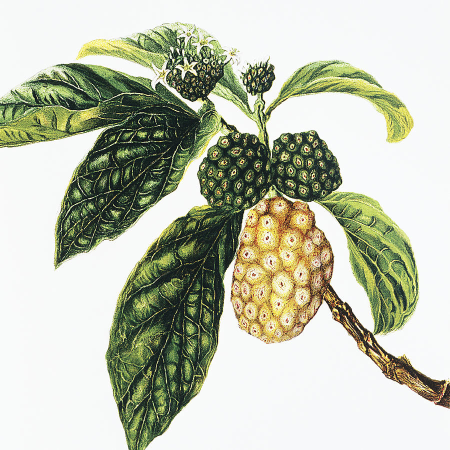 1890 Painting - Noni Fruit by Hawaiian Legacy Archive - Printscapes