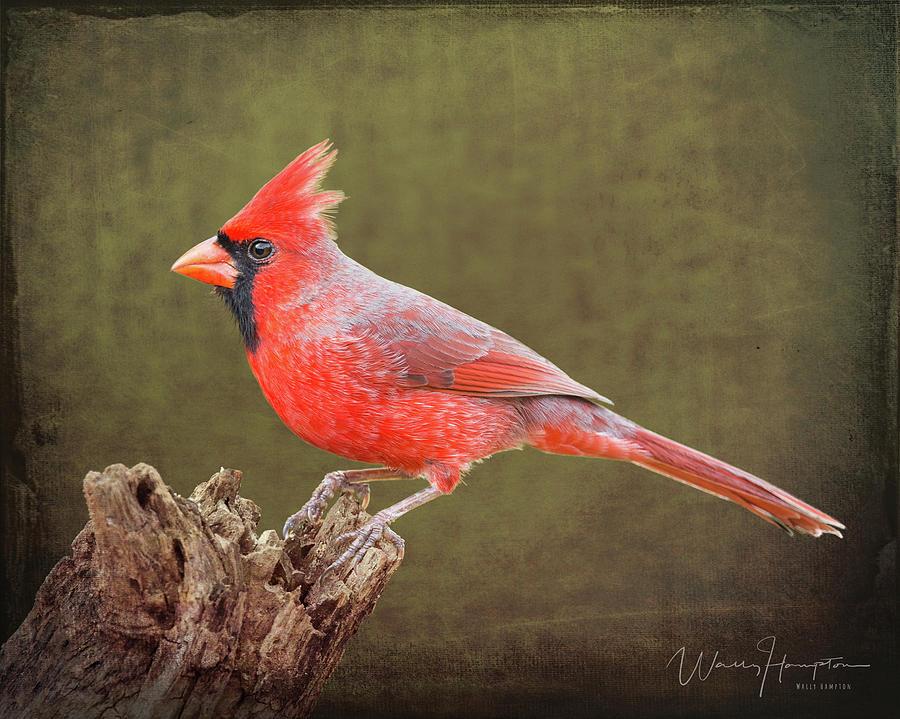 Northern Cardinal - 6419,st Photograph