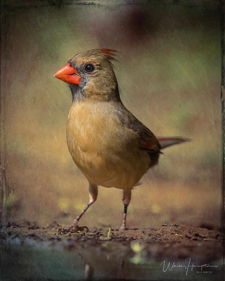 Northern Cardinal - 7192,st Photograph