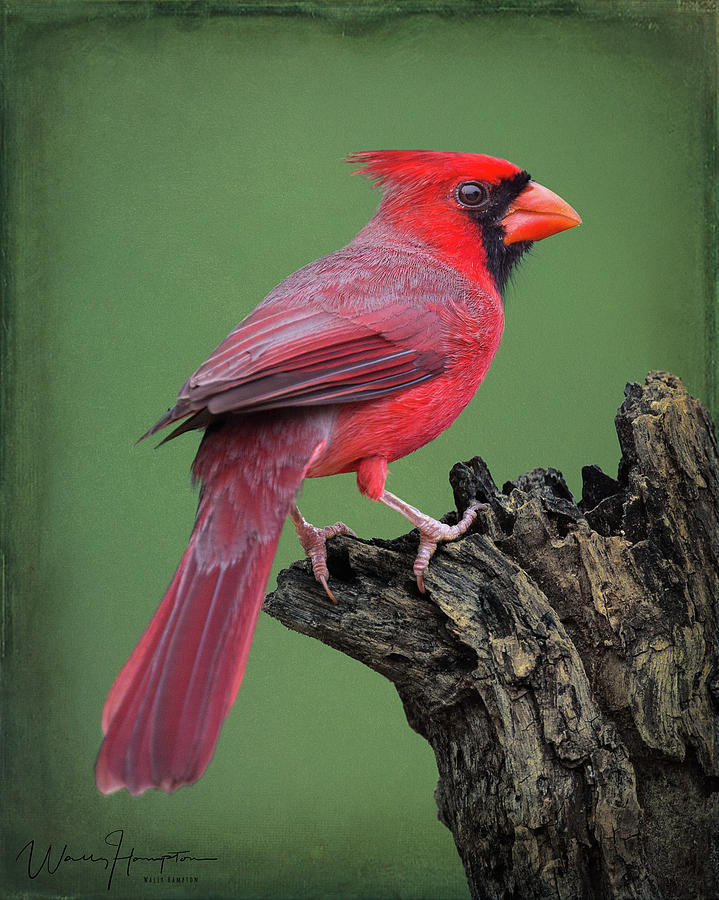 Northern Cardinal - Bl9a5901 Photograph
