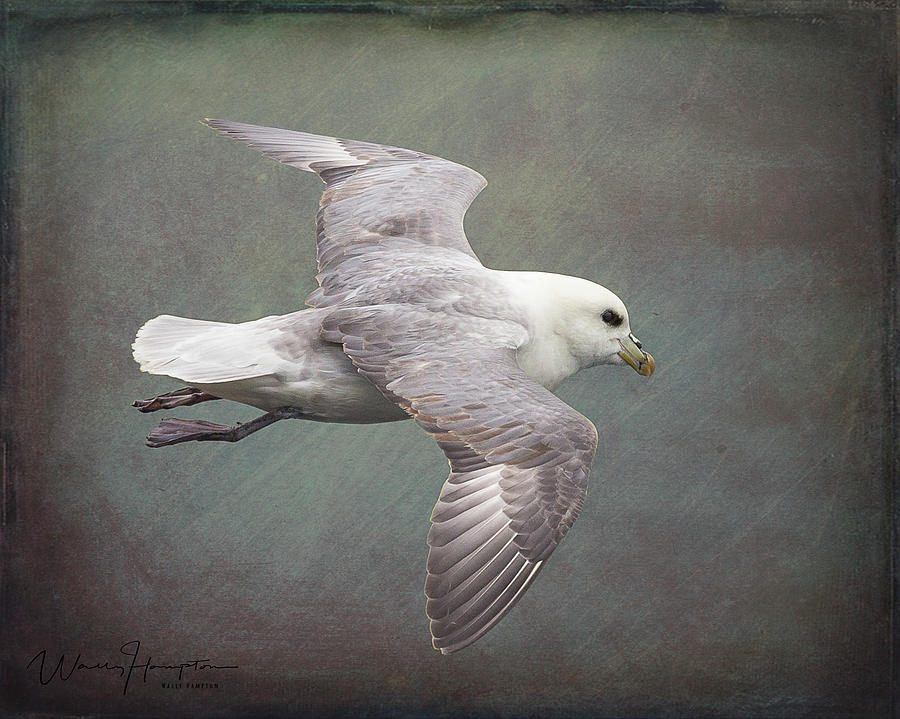 Northern Fulmar - 1717,st Photograph