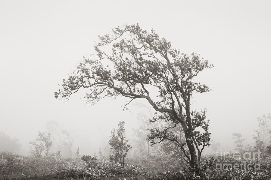 Art Medium Photograph - Ohia Lehua Tree by Greg Vaughn - Printscapes