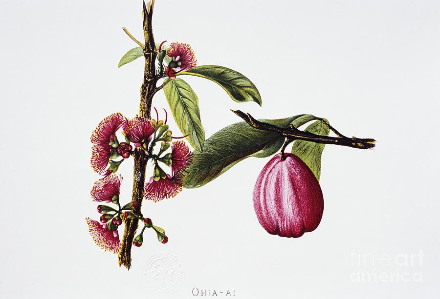 Ohiaai Painting