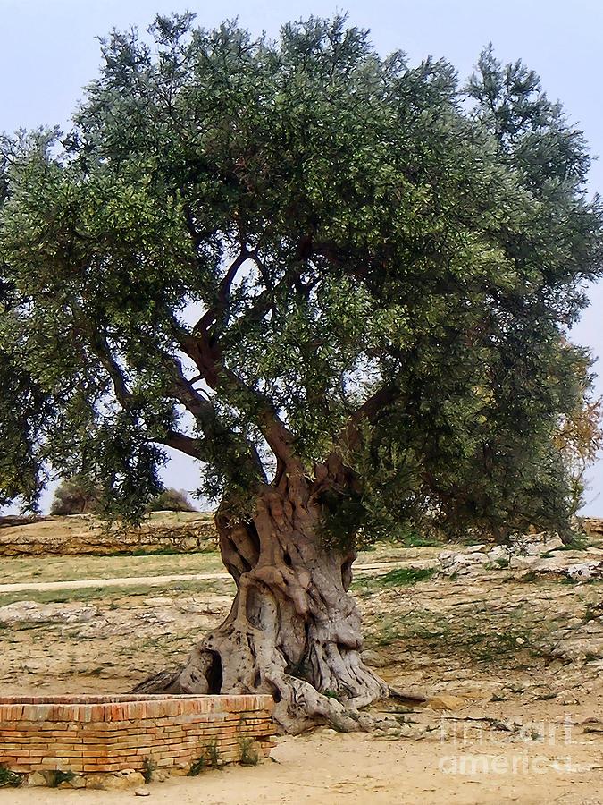 Olive Tree Sicily Photograph