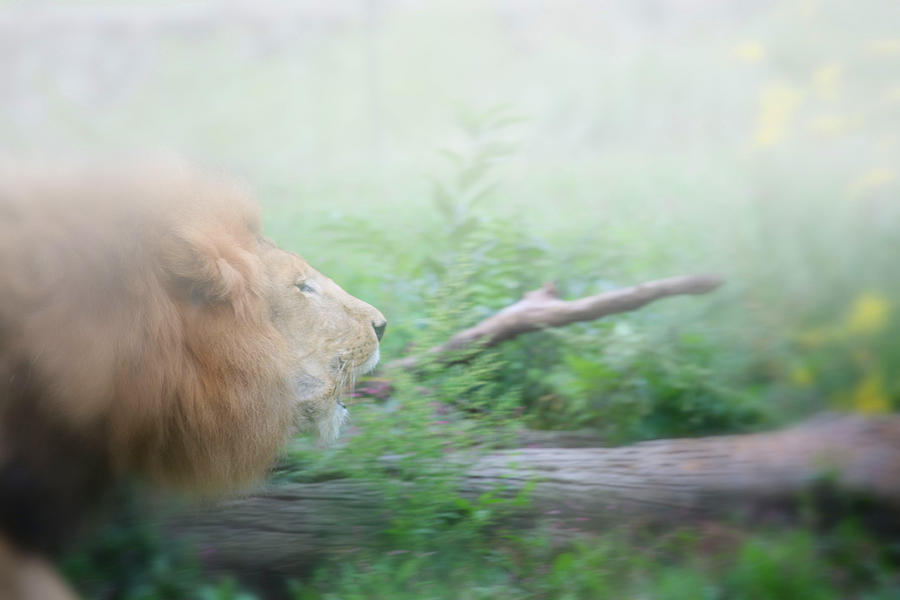 Lion Photograph - On The Charge by Karol Livote