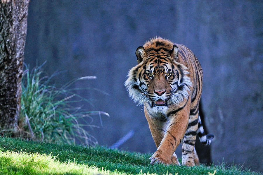 Tiger Photograph - On The Hunt by Tom Dowd