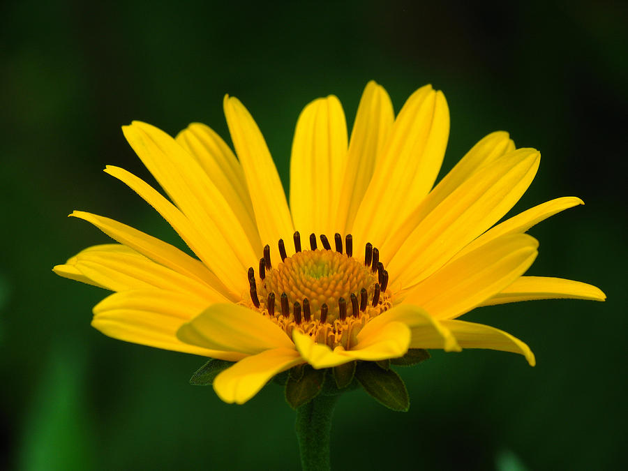 Daisy Photograph - One Daisy by Juergen Roth