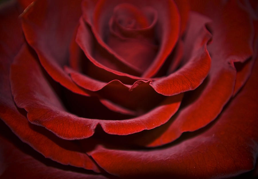 Rose Photograph - One Red Rose by Svetlana Sewell