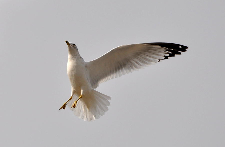 Seagull Photograph - One Wing Landing by Emily Stauring
