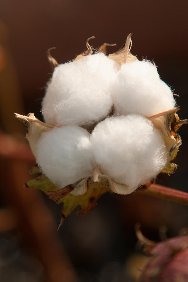 Open Cotton Boll Photograph