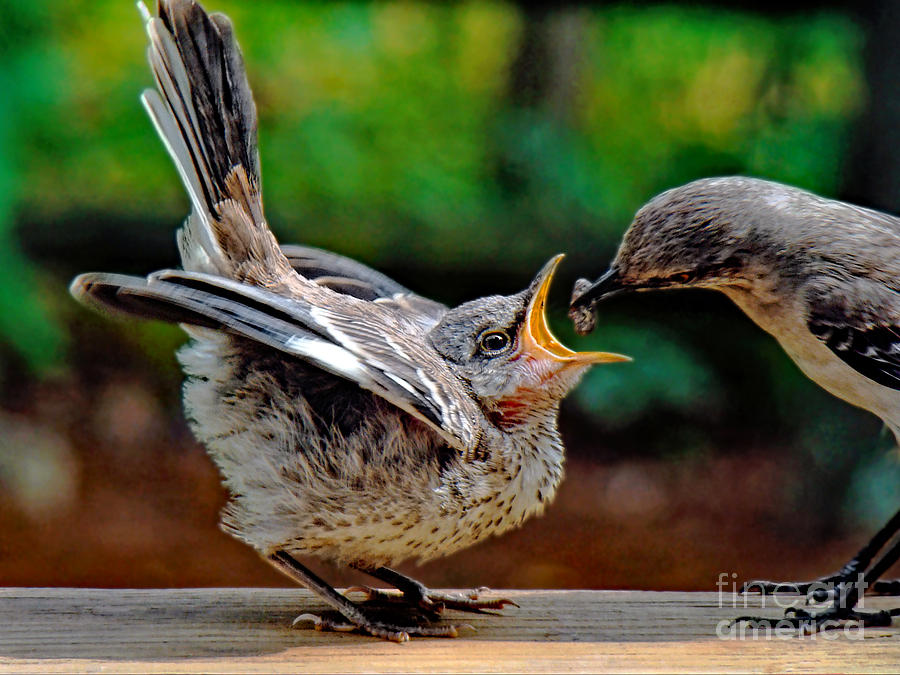 Mockingbird Photograph - Open Wide by Sue Melvin