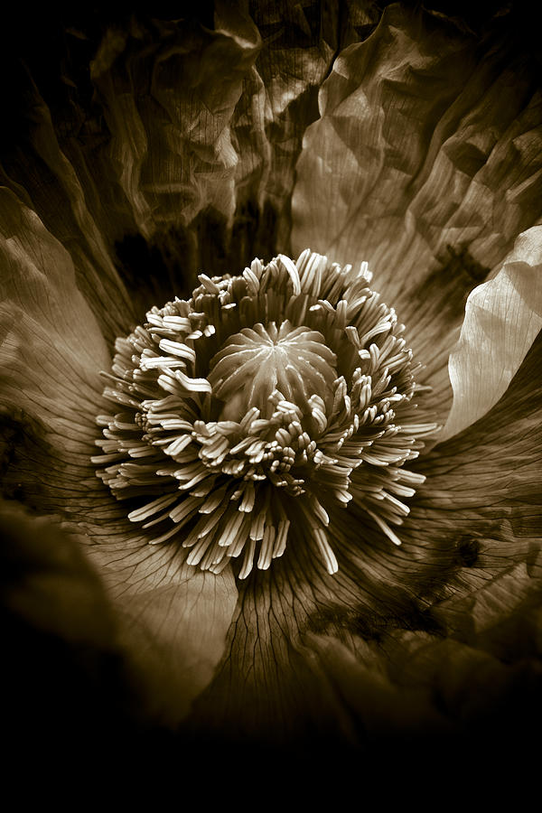 Opium Poppy Papaver Somniferum Photograph