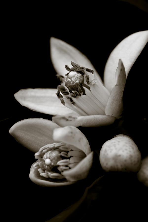 Orange Blossoms Photograph