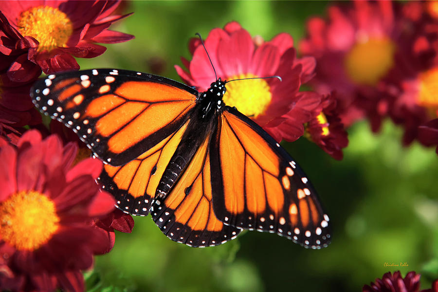 Monarch Butterfly Photograph - Orange Drift Monarch Butterfly by Christina Rollo