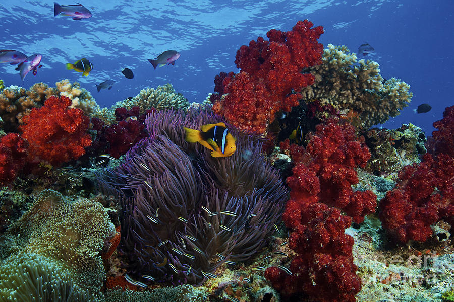 Orange-finned Clownfish And Soft Corals Photograph