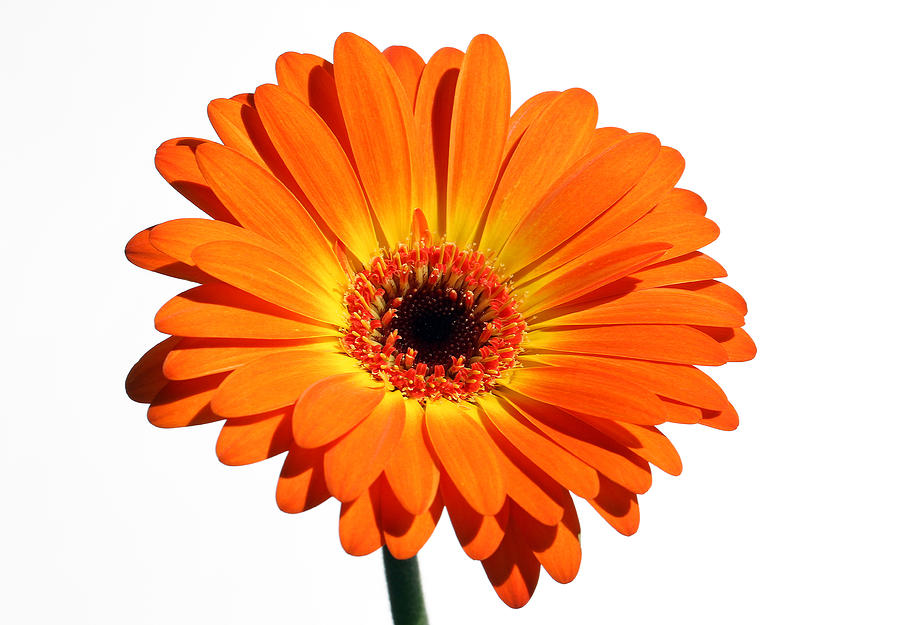 Flower Photograph - Orange Gerber Daisy Perfection by Juergen Roth