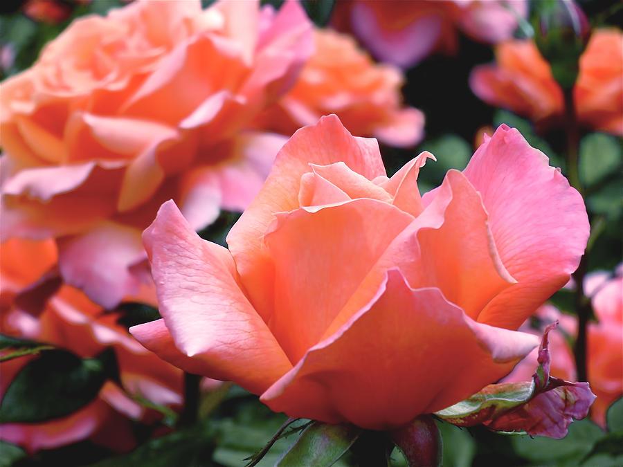 Rose Photograph - Orange-pink Roses  by Rona Black