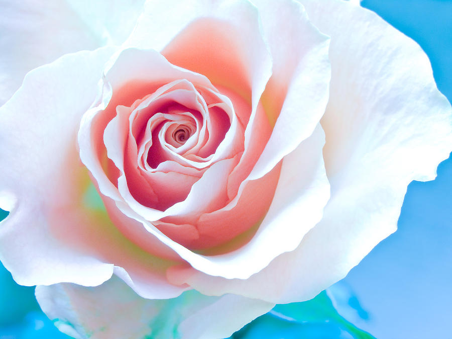 All Photograph - Orange White Blue Abstract Rose by Artecco Fine Art Photography