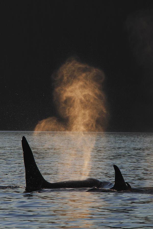 00475889 Photograph - Orcas Ocinus Orca Spouting Alaska by Hiroya Minakuchi