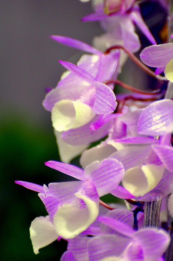 Orchid Photograph - Orchid 25 by Marty Koch