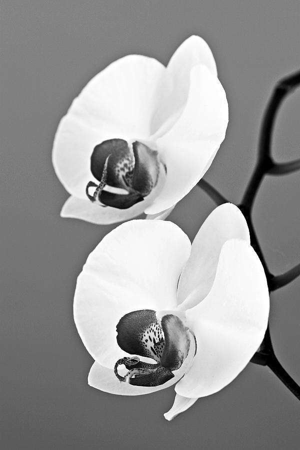 Orchid Photograph - orchid-4- St Lucia by Chester Williams