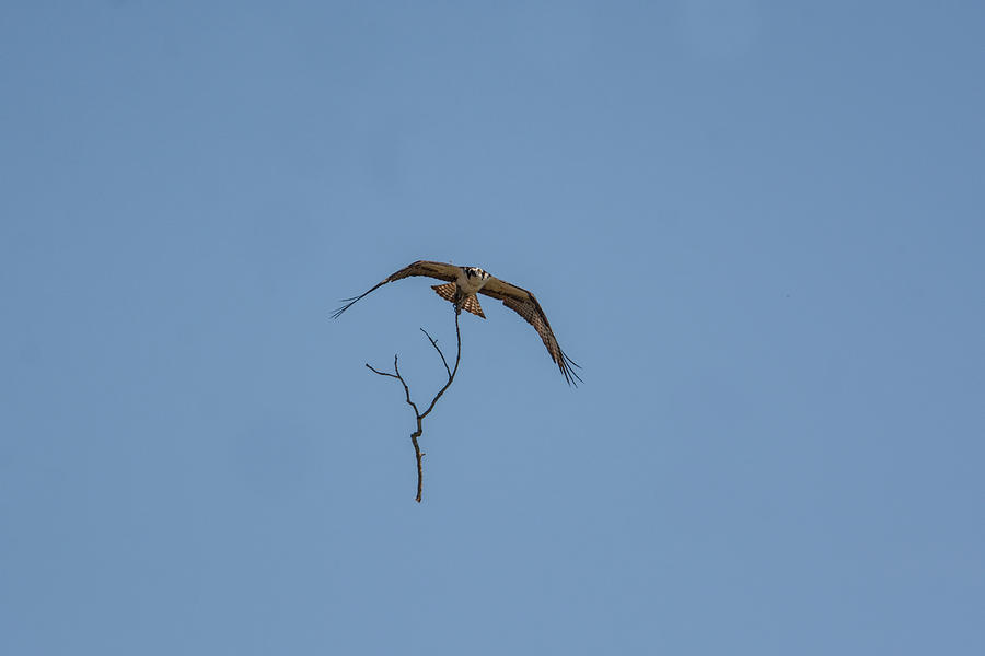 Osprey In Flight With Stick For Nest 031620160840 Photograph