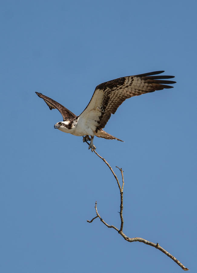 Osprey In Flight With Stick For Nest 031620160877 Photograph