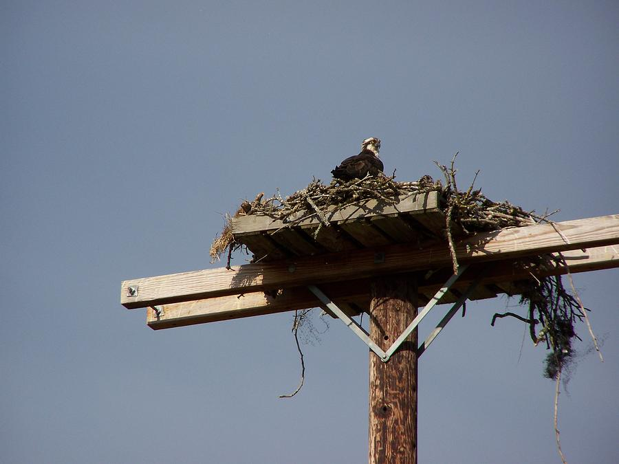 Digital Photography Artwork Photograph - Osprey Nest by Laurie Kidd