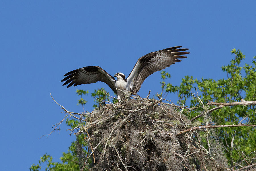Osprey On Nest Wings Held High Photograph