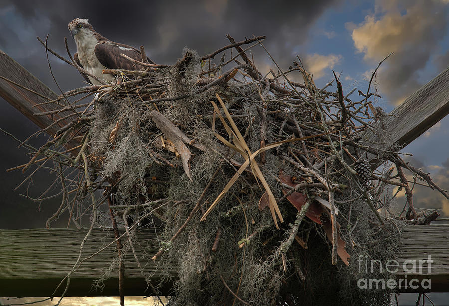 Osprey Protecting The Nest Photograph