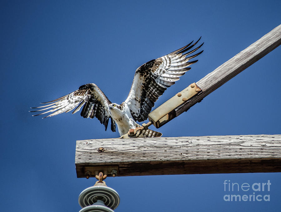 Osprey Wings Photograph