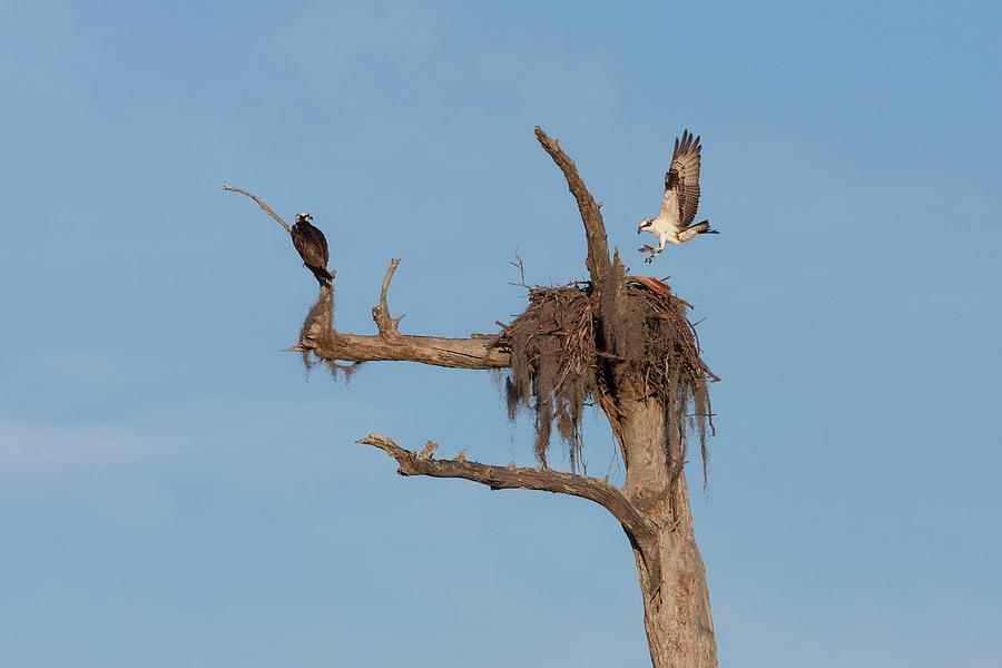Ospreys And Nest Photograph