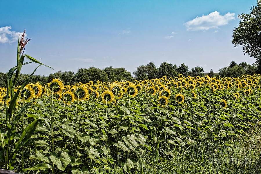Sunflowers Photograph - Out Of Place by Edward Sobuta