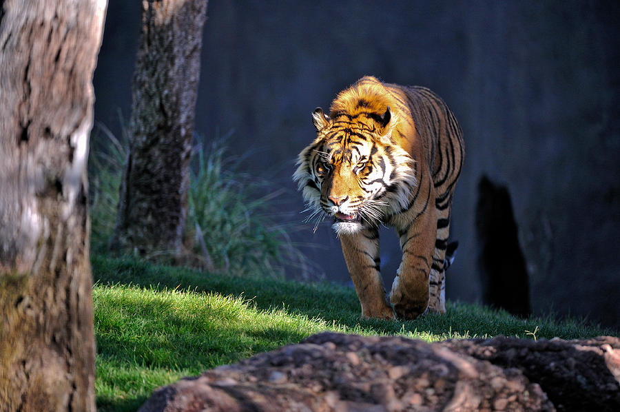 Tiger Photograph - Out Of The Shadows by Tom Dowd