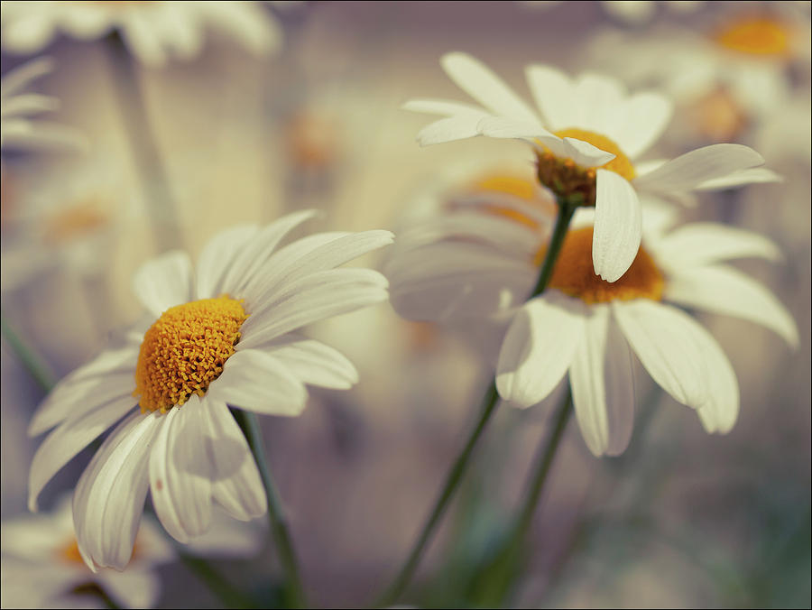 Horizontal Photograph - Oxeye Daisy Flowers by Haakon Nygård
