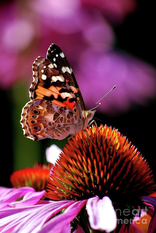 Butterfly Photograph - Painted Lady by Lila Fisher-Wenzel