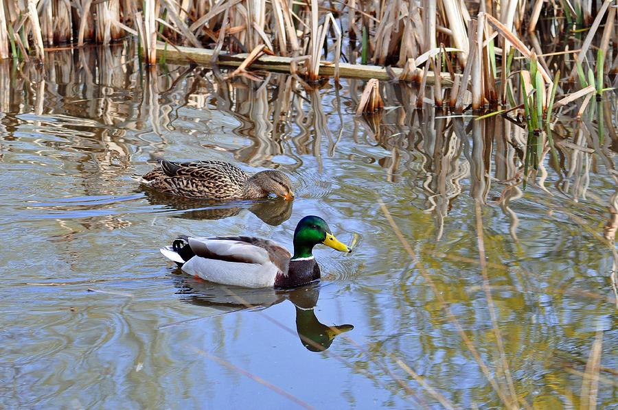 Motion Photograph - Pair Of Mallard Ducks by Rod Johnson