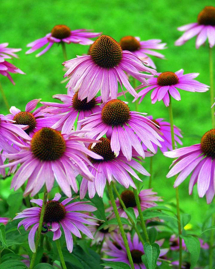 Flowers Photograph - Pale Purple Coneflowers by Marty Koch
